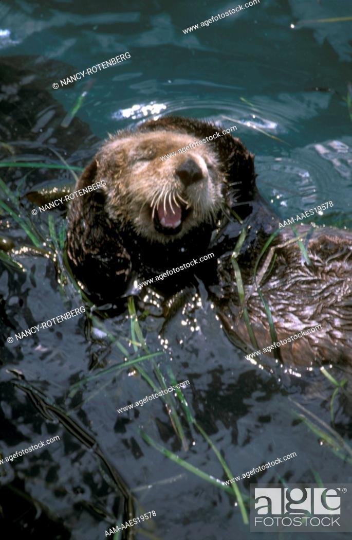 Stock Photo: Sea-Otter-rubbing-Head,-Inside-Passage,-AK.