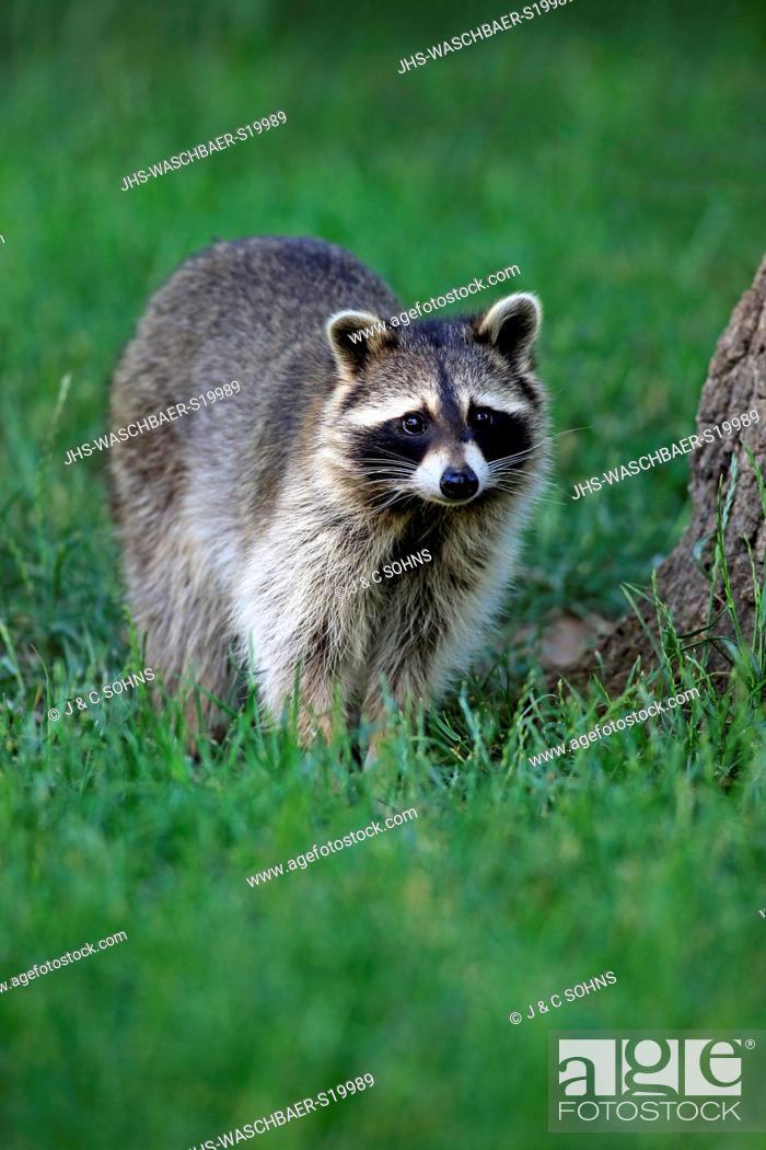 Stock Photo: Raccoon, North American Raccoon, Common raccoon, (Procyon lotor), adult alert, Germany, Europe.