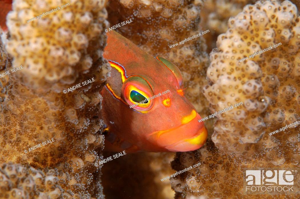 Stock Photo: Close-up of an Arc-Eye Hawkfish, Paracirrhites arcatus, Oahu, Hawaii, USA.