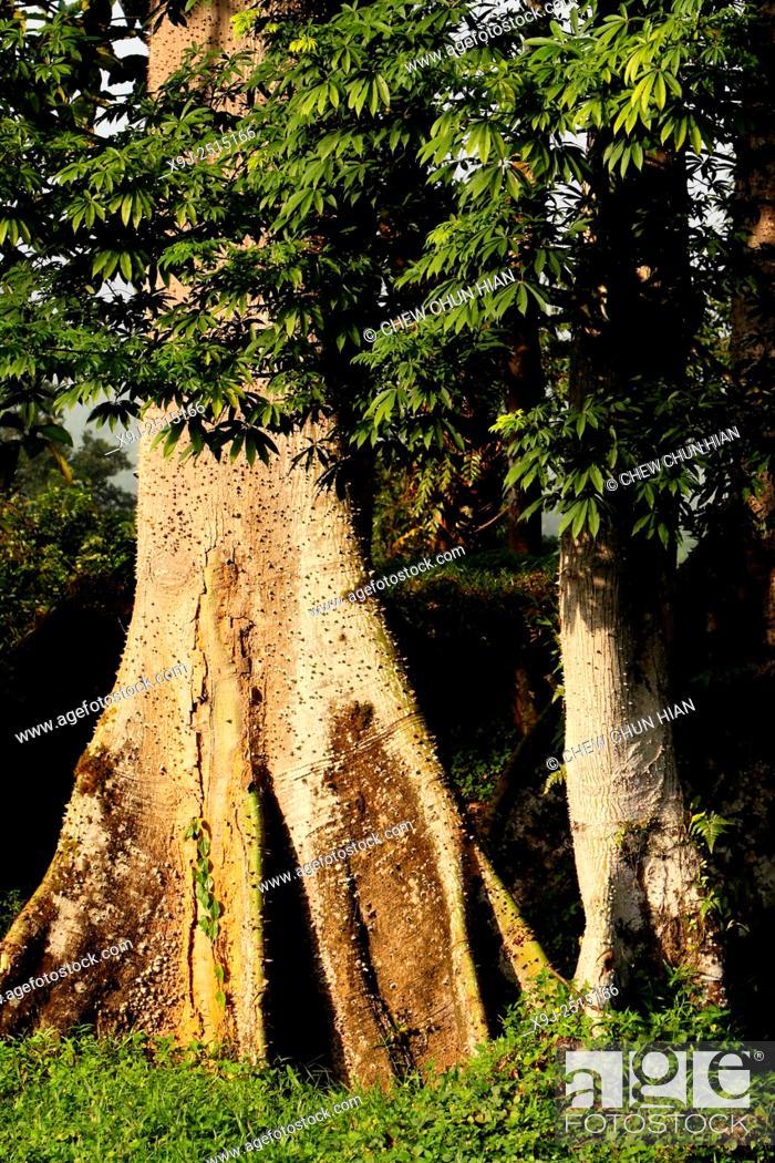 Stock Photo: Kapok tree Ceiba Pentandra Gaertn in borneo, sarawak, malaysia.