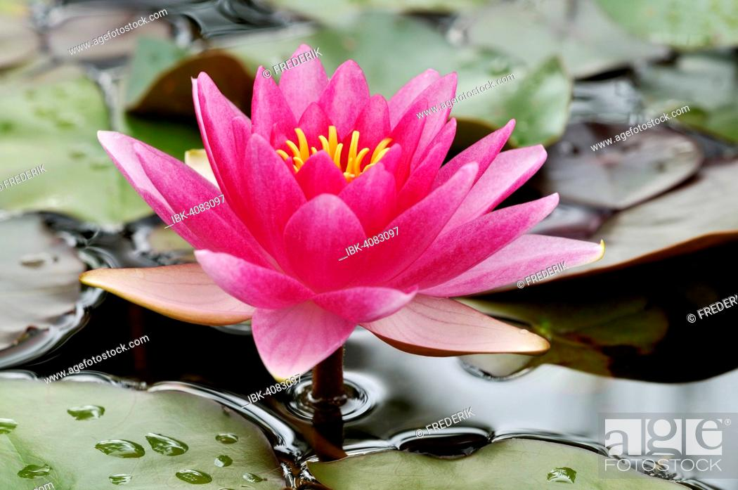 Stock Photo: Water lily (Nymphaea), North Rhine-Westphalia, Germany.