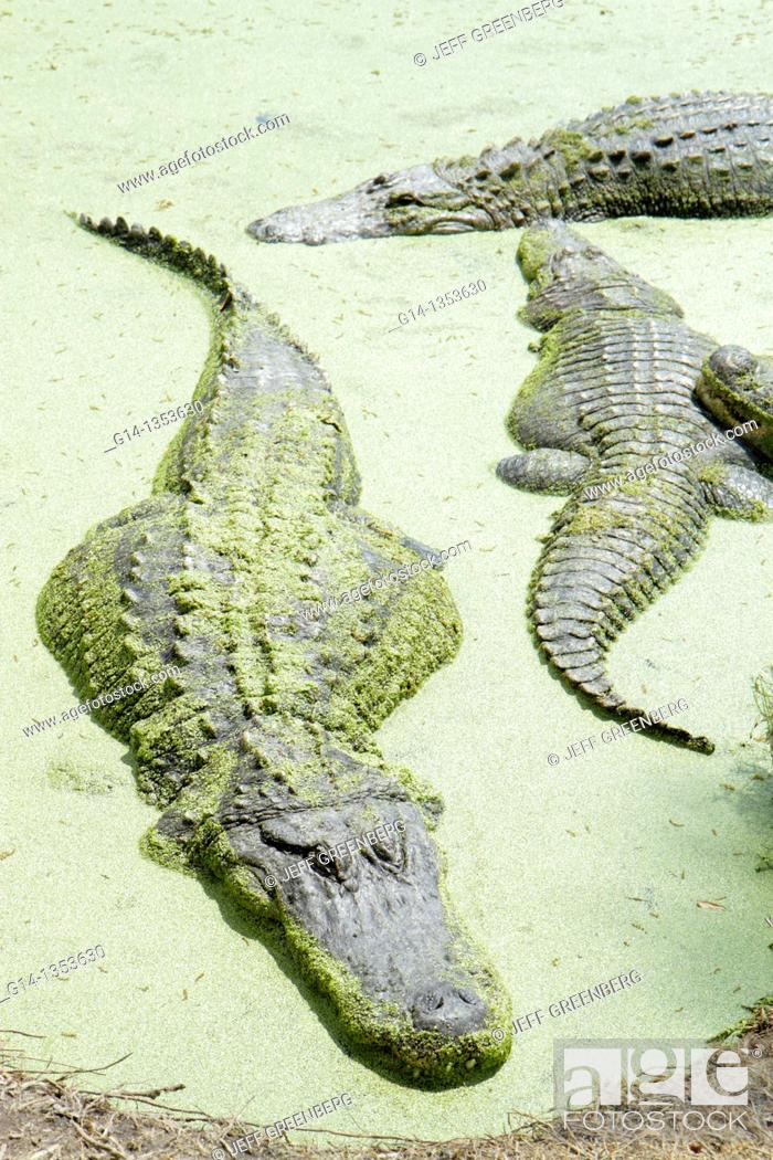 Stock Photo: Florida, Orlando, Christmas, Jungle Adventure Nature Park & and Zoo, alligator, sunning,.