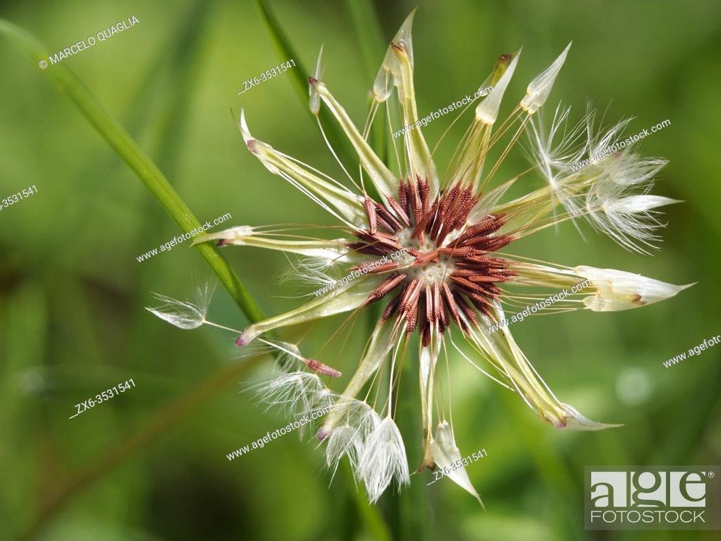 Stock Photo: Dandelion seeds (Taraxacum officinale). Lluçà village countryside. Lluçanès region, Barcelona province, Catalonia, Spain.