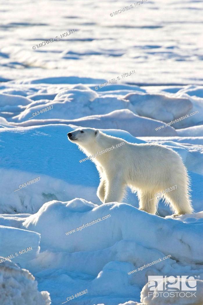 Stock Photo: Polar bear Ursus maritimus on multi-year ice floes in the Barents Sea off the eastern coast of Edgeøya Edge Island in the Svalbard Archipelago, Norway.