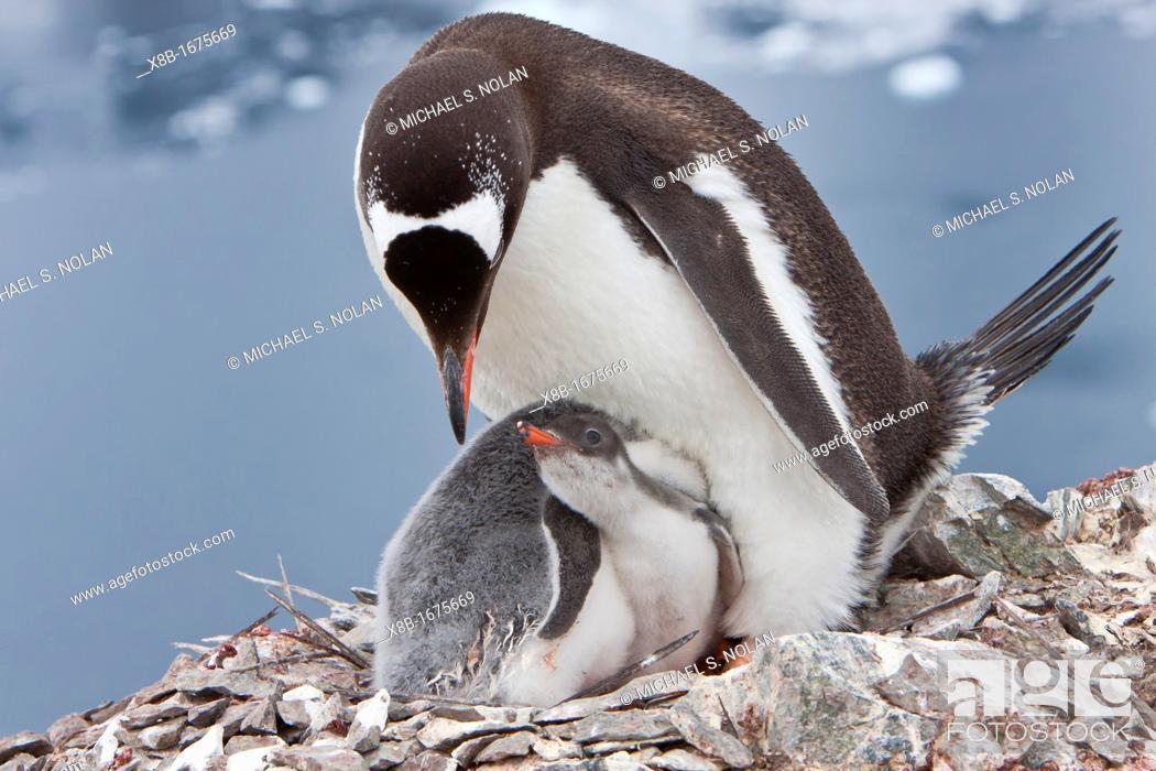 Stock Photo: Adult gentoo penguin Pygoscelis papua feeding chicks in Antarctica.