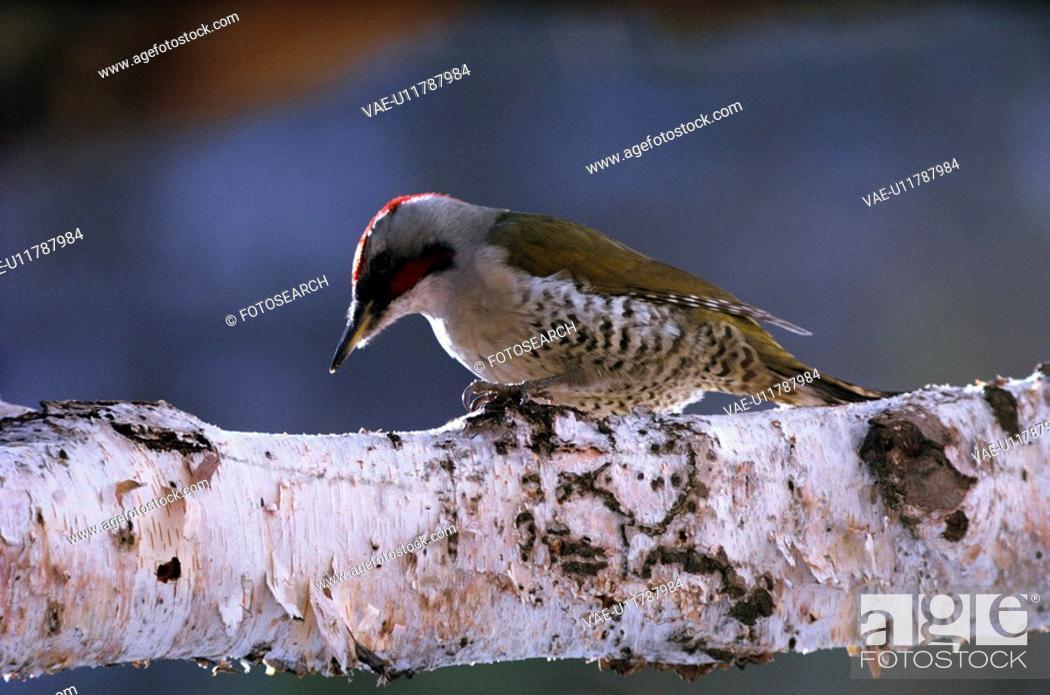 Stock Photo: Japanese Green Woodpecker.