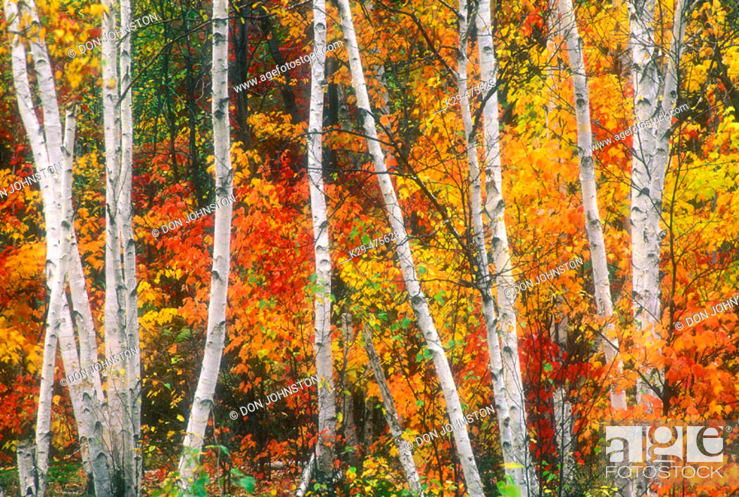 Stock Photo: Line of birch tree trunks with autumn colour. Lively. Ontario. Canada.