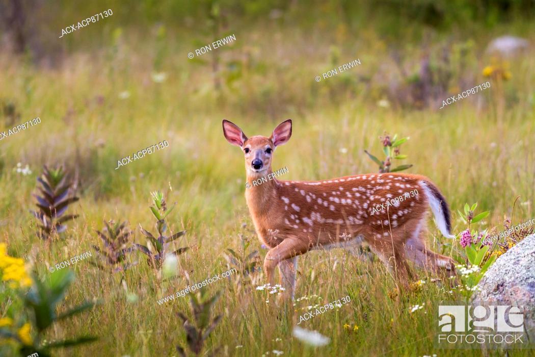 Photo de stock: Spotted White-tailed Deer (Odocoileus virginianus) fawn, Manitoulin Island, Ontario, Canada.