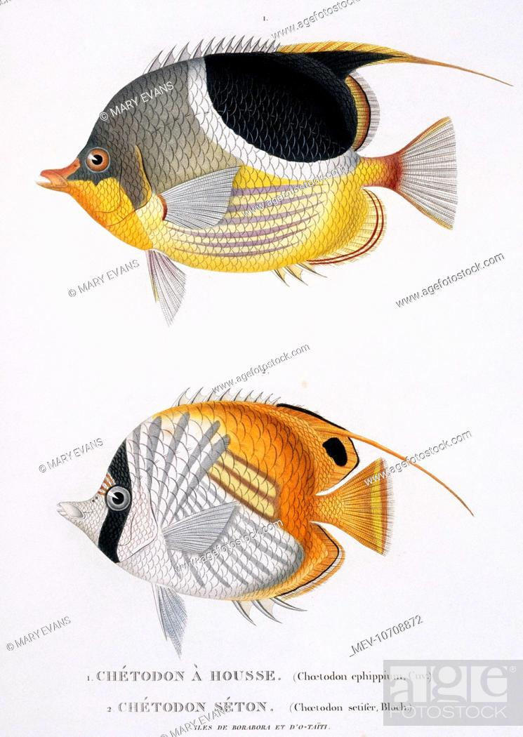 Plate 29 By Louis Isidore Duperrey From His Voyage De La Coquille 1822 1825 Zoologie Atlas 1826 Stock Photo Picture And Rights Managed Image Pic Mev 10708872 Agefotostock