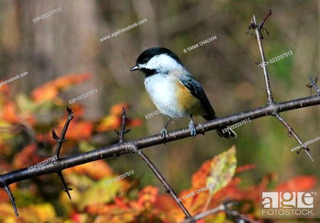 Stock Photo: Chickadee.