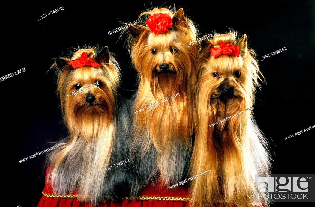 Stock Photo: YORKSHIRE TERRIER, ADULT WELL BRUSHED BEFORE A DOG COMPETITION.