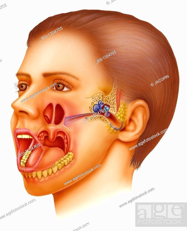 Ent Illustrationbrillustration Of The Ear Nose Throat Area Ent