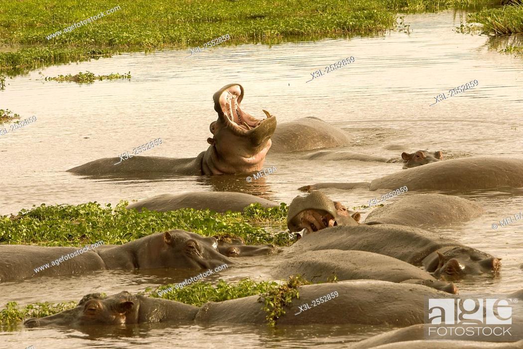 Stock Photo: Hippopotamus amphibious. Hippopotamus. Ngorongoro conservation area. Tanzania. Africa.