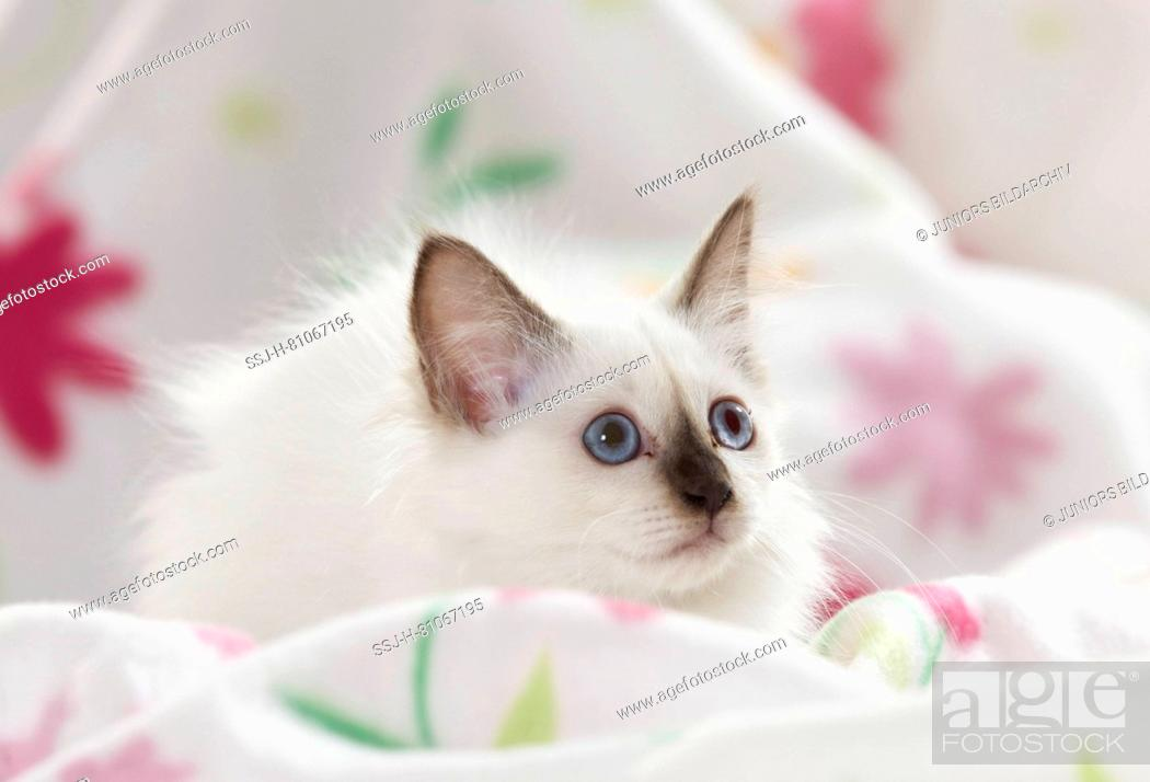 Stock Photo: Sacred cat of Burma. Kitten lying on a white blanket with flower print. Germany.