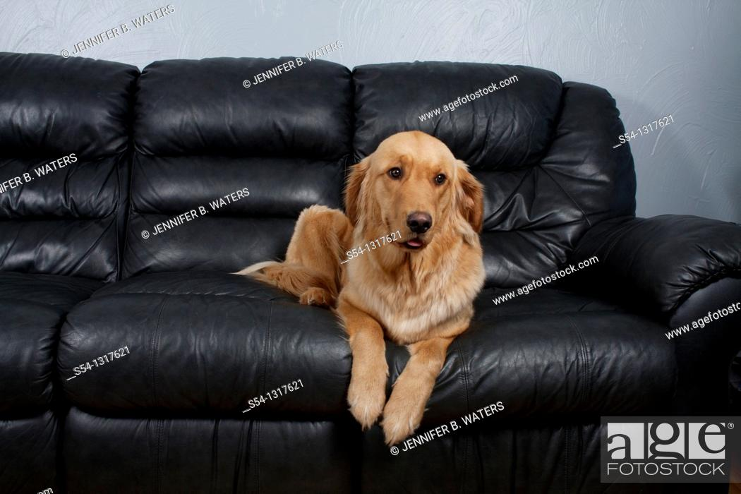 Stock Photo: A Golden Retriever on a black leather couch.