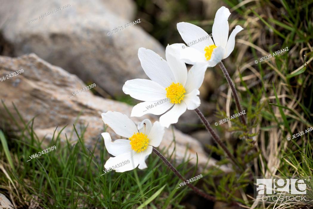Imagen: pulsatilla alpina.