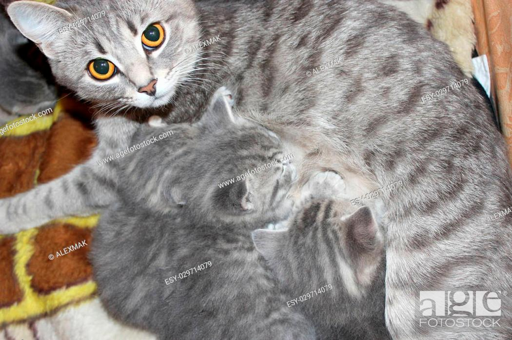 Cat And Its Newborn Kittens Of Scottish Straight Breed Stock Photo Picture And Low Budget Royalty Free Image Pic Esy 029714079 Agefotostock