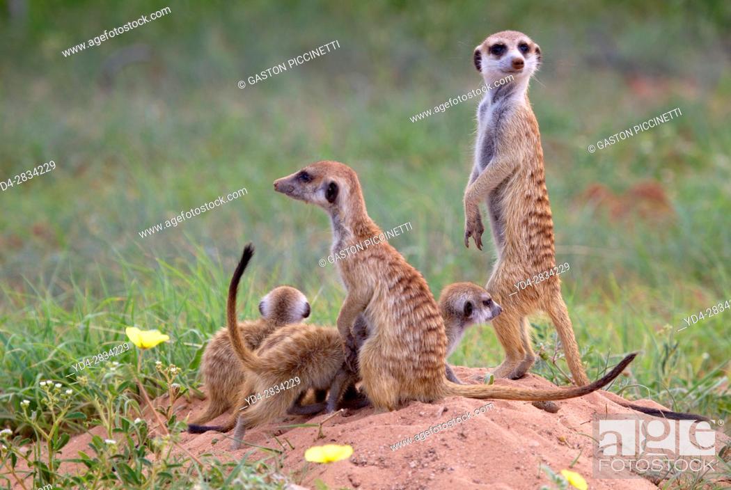 Stock Photo: Suricate (Suricata suricatta), Kgalagadi Transfrontier Park, Kalahari desert, South Africa/Botswana.