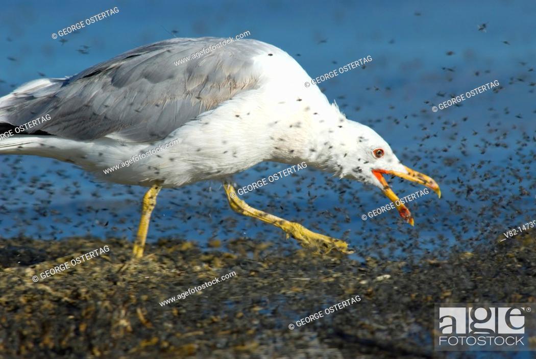 Stock Photo: California gull feeding on brine flies, Mono Basin National Forest Scenic Area, Mono Lake Tufa State Reserve, CA.