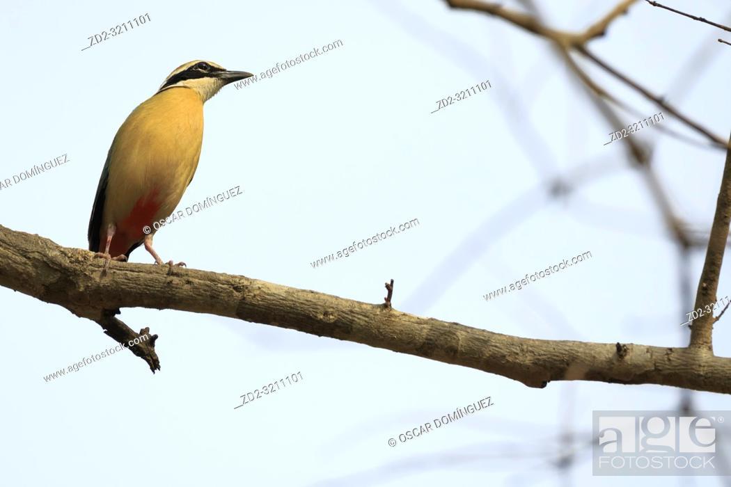 Stock Photo: Indian Pitta (Pitta brachyura) perched on branch. Corbett National Park. Uttarakhand. India.