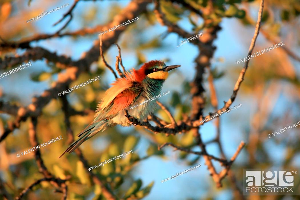 Stock Photo: Bee-eater (Merops apiaster) in the Alto Palancia region. Castellón.