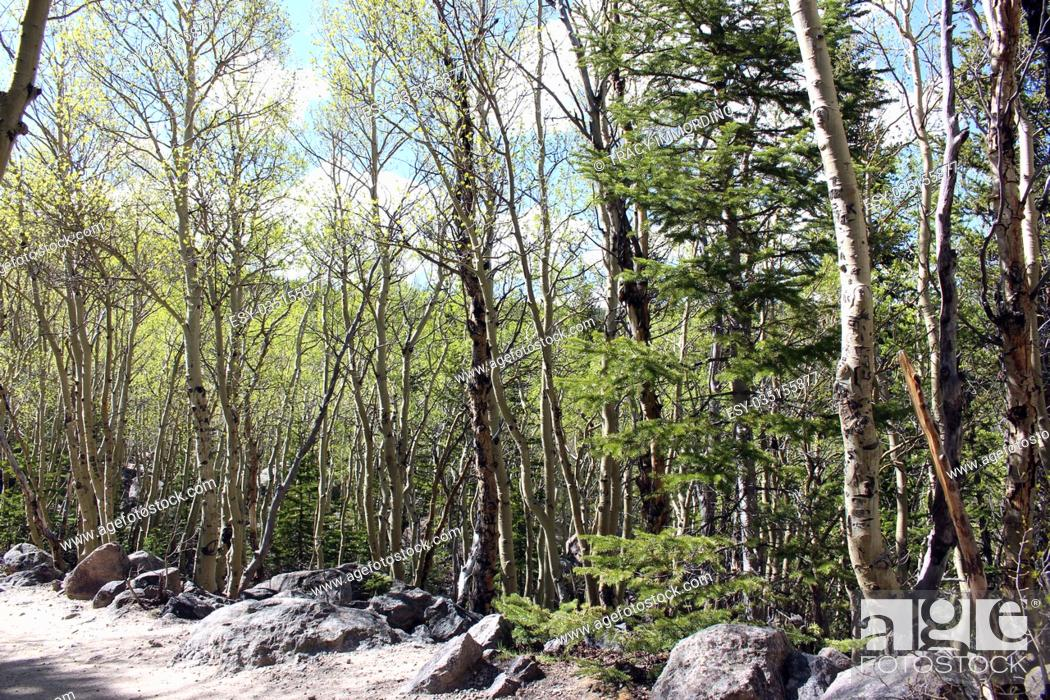 Stock Photo: A grove of aspen trees on the Glacier Creek Trail in Rocky Mountain National Park, Colorado, USA.
