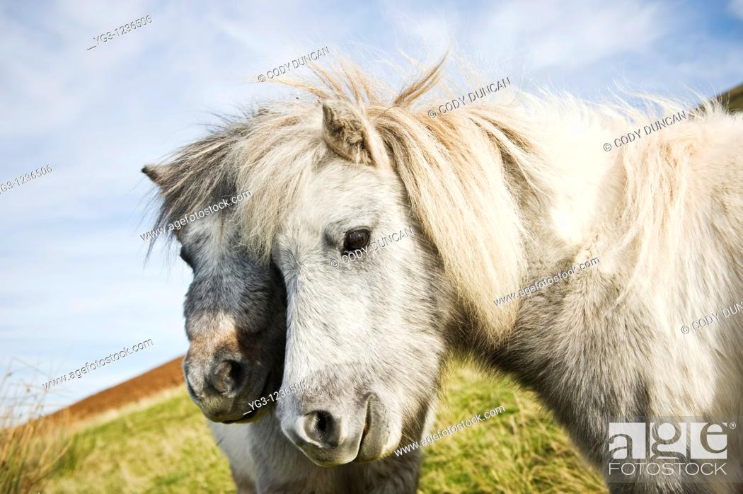 Stock Photo: Welsh mountain ponies, Brecon Beacons national park, Wales.