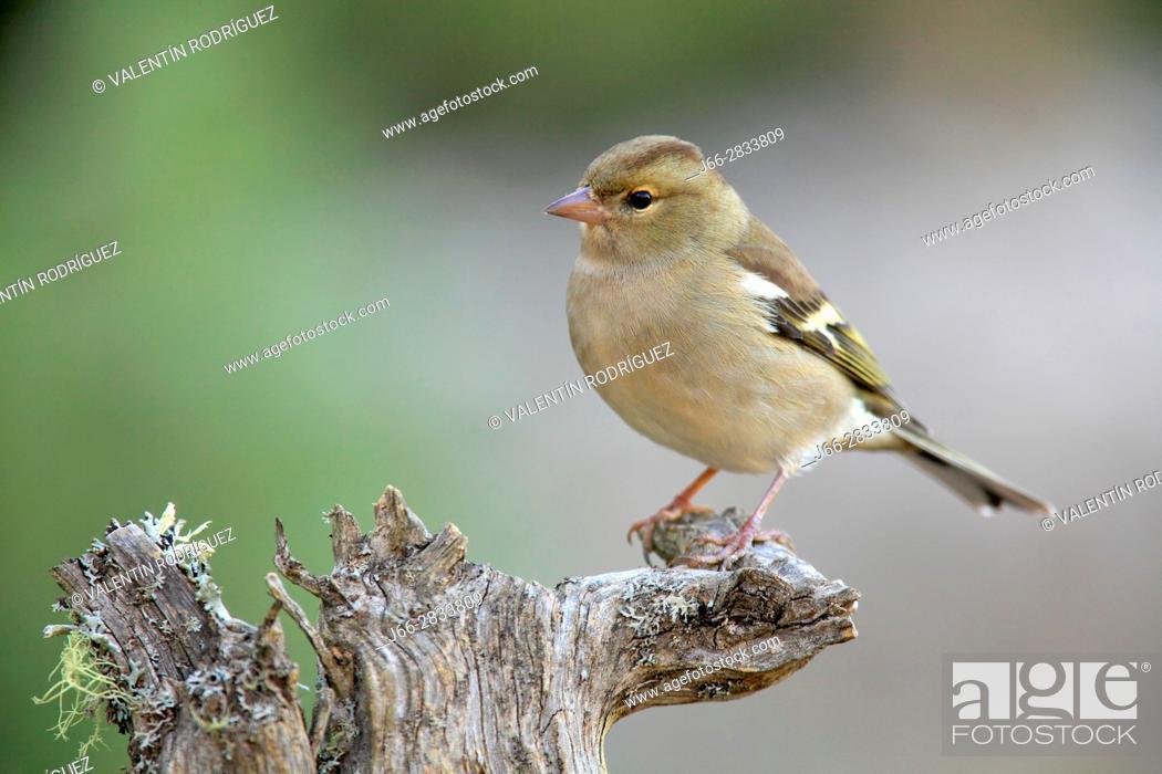 Imagen: Chaffinch (Fringilla coelebs) female in the region of Los Serranos. Valencia.