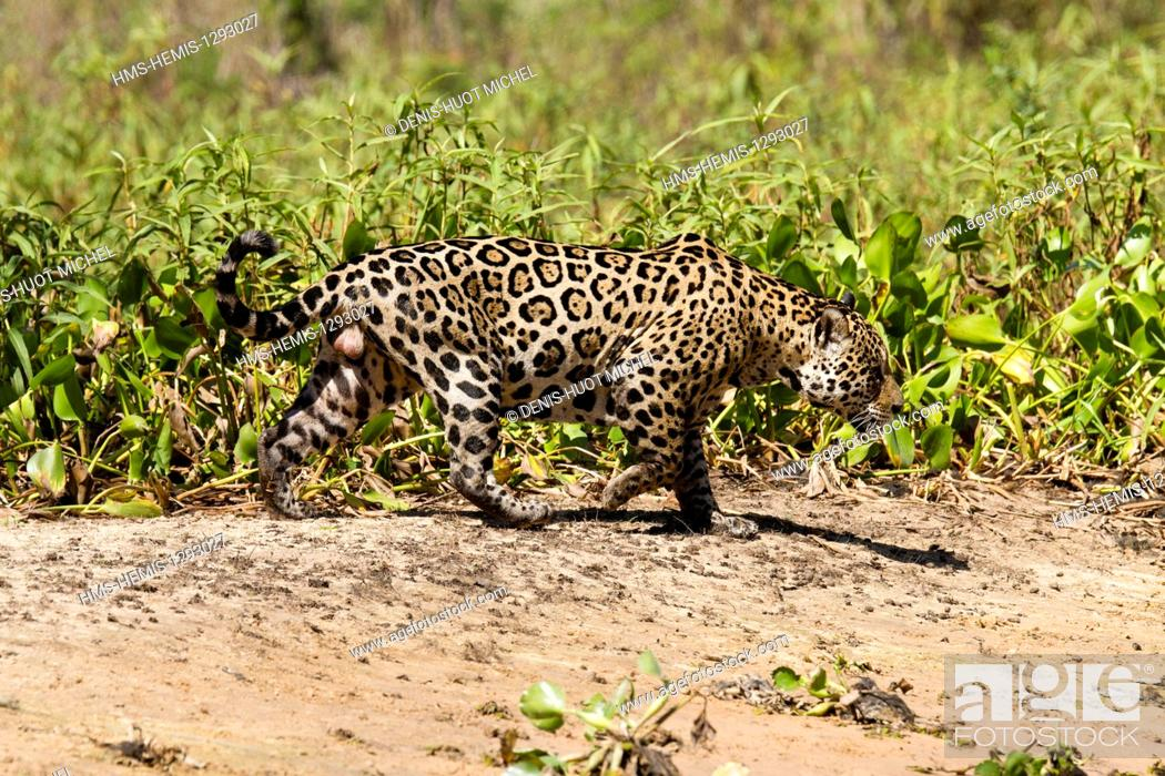 Imagen: Brazil, Mato Grosso, Pantanal area, listed as World Heritage by UNESCO, jaguar (Panthera onca), male.
