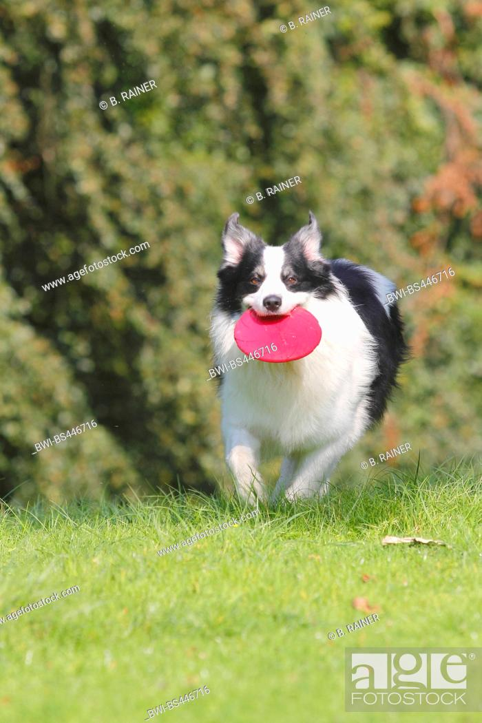 Stock Photo: Australian Shepherd (Canis lupus f. familiaris), six years old male dog running with a frisbee in the mouth in a meadow, front view, Germany.
