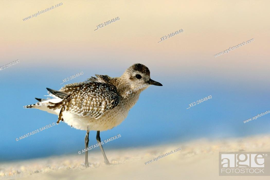 Stock Photo: Grey Plover (Pluvialis squatarola), Crete.
