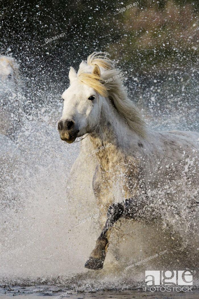 Stock Photo: Camargue horses. Saintes-Maries-de-la-Mer. Camargue, Bouches du Rhone. France.