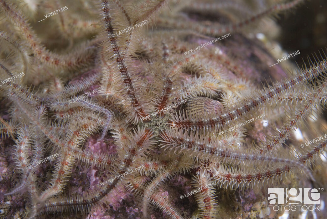 Stock Photo: Fragile Brittlestar Ophiothrix fragilis, detail of many individuals with arms raised on gravel seabed, St Abbs, Scotland, UK North Sea.