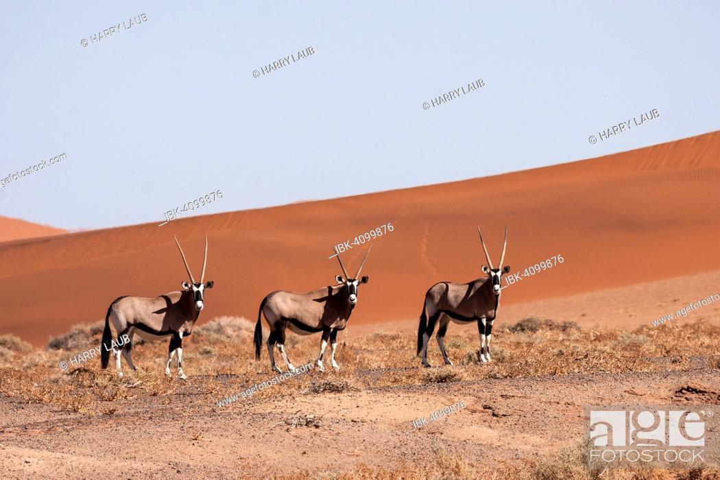 Stock Photo: Gemsboks or Gemsbucks (Oryx gazella) in the Hiddenvlei, Sossusvlei, Namib Desert, Namib-Naukluft National Park, Namibia.