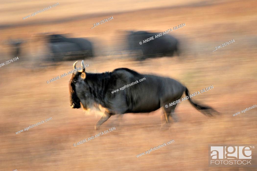 Imagen: Wildebeest (Connochaetes taurinus), gnu, running on savanna with motion blur, Serengeti national park, Tanzania.