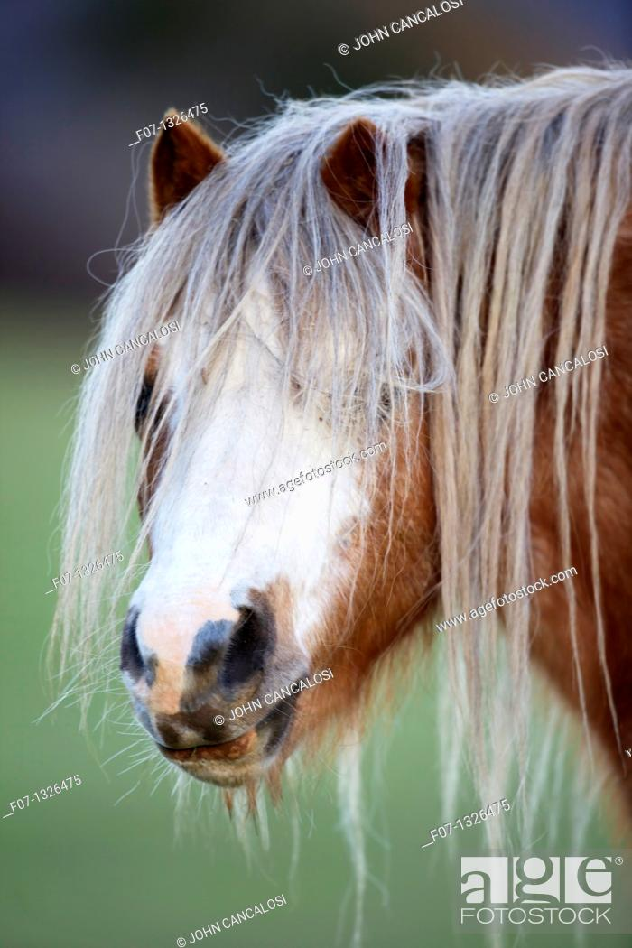Stock Photo: Descendent of the ancient Celtic mountain pony which lived wild in the hills of Wales for centuries - Welch Mountain Pony Section A - UK.