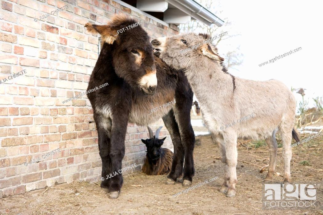 Stock Photo: Baby donkeys and goat on farm.