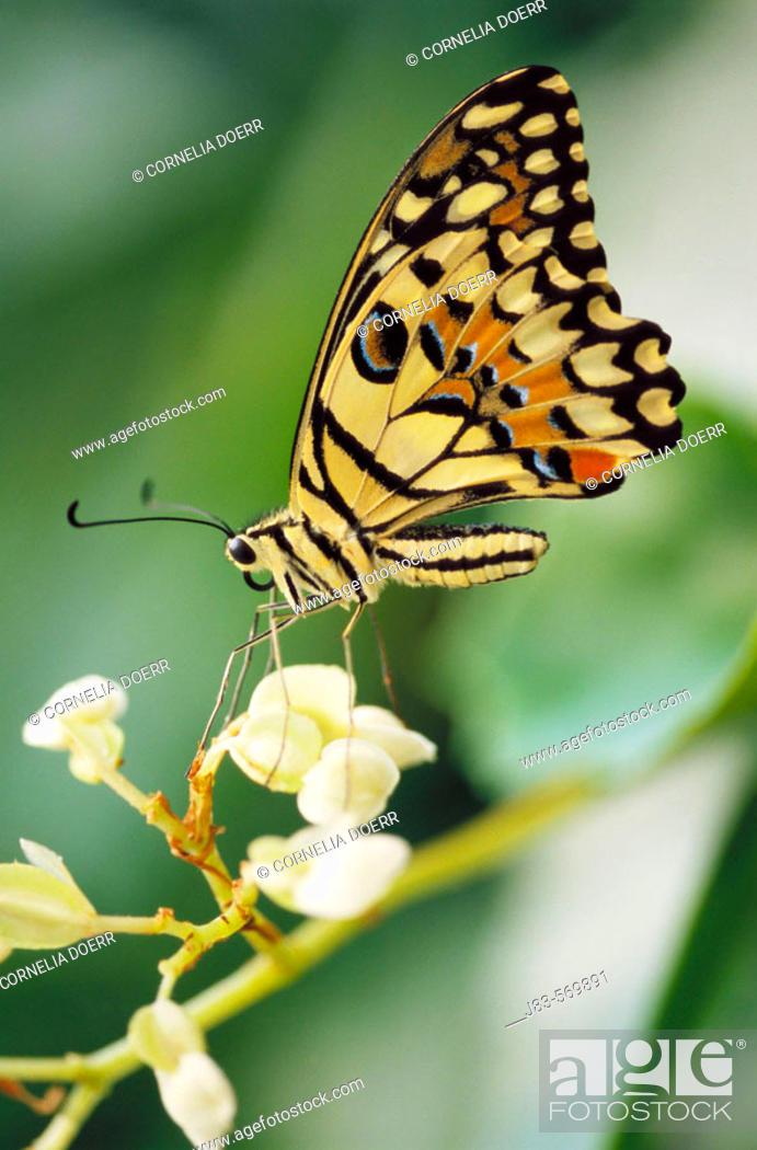 Stock Photo: Swallowtail butterfly (papilio demdeus).