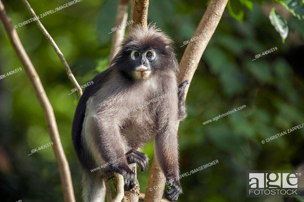 Stock Photo: Dusky leaf monkey, also spectacled langur or spectacled leaf monkey (Trachypithecus obscurus) in tree, Kaeng Krachan National Park, Phetchaburi, Thailand.