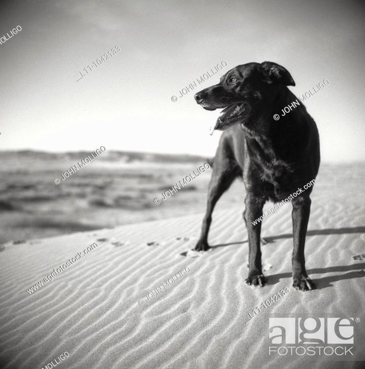Stock Photo: Black Labrador Retreiver dog on Sand Dunes in Early Morning.