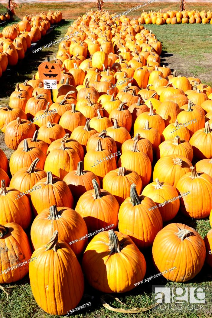 Stock Photo: Orange pumpkins on display in field for Halloween.