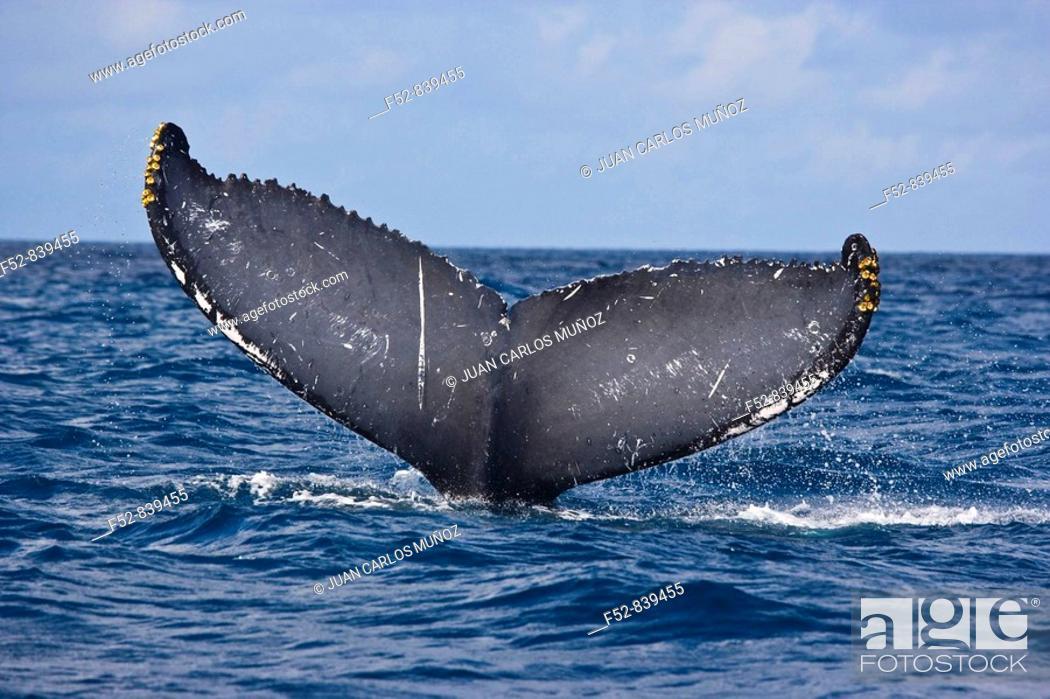 Stock Photo: Humpback Whale (Megaptera novaeangliae), Silver Bank Sanctuary for sea mammals, Dominican Republic.