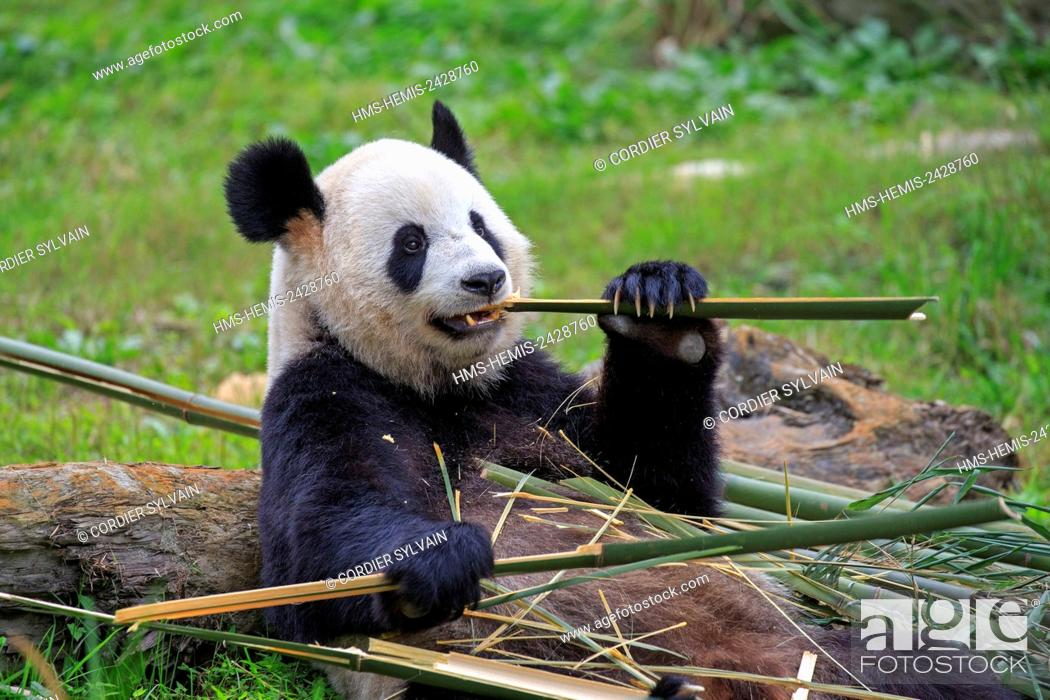 Photo de stock: China, Sichuan province, Chengdu, Research Base of Giant Panda Breeding or Chengdu Panda Base, Giant Panda (Ailuropoda melanoleuca), captive.