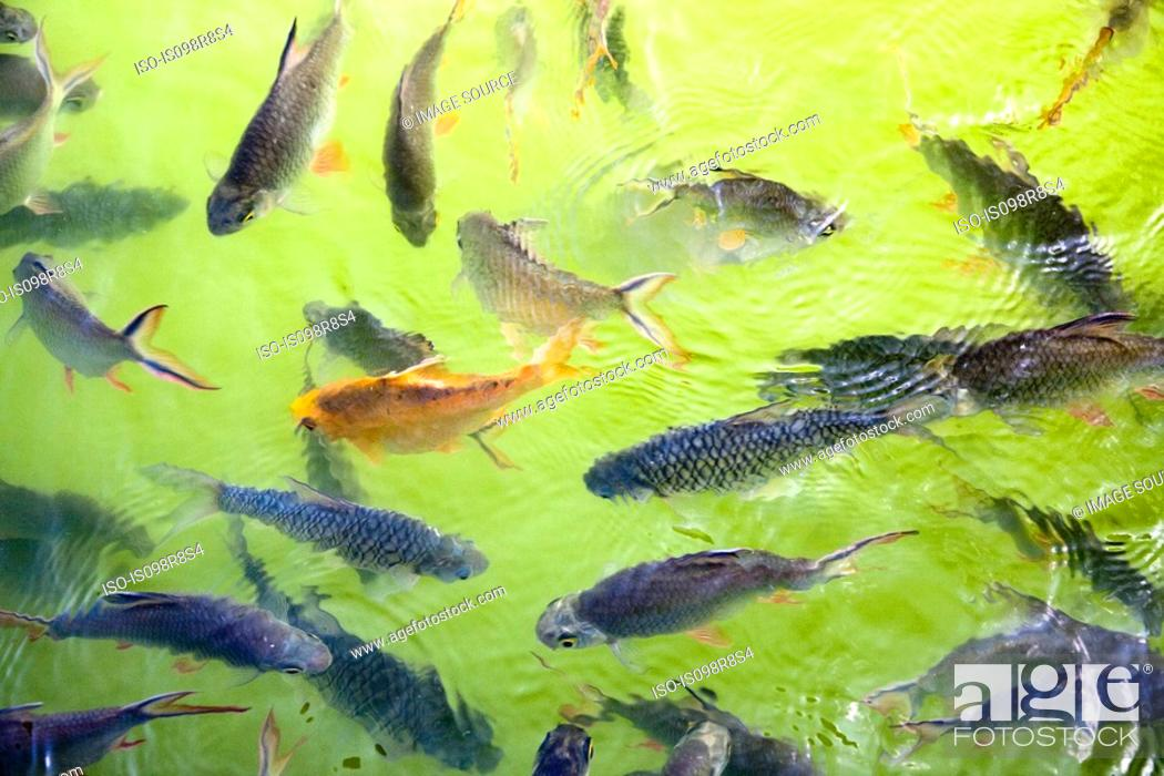 Stock Photo: Fishes swimming in a pond.