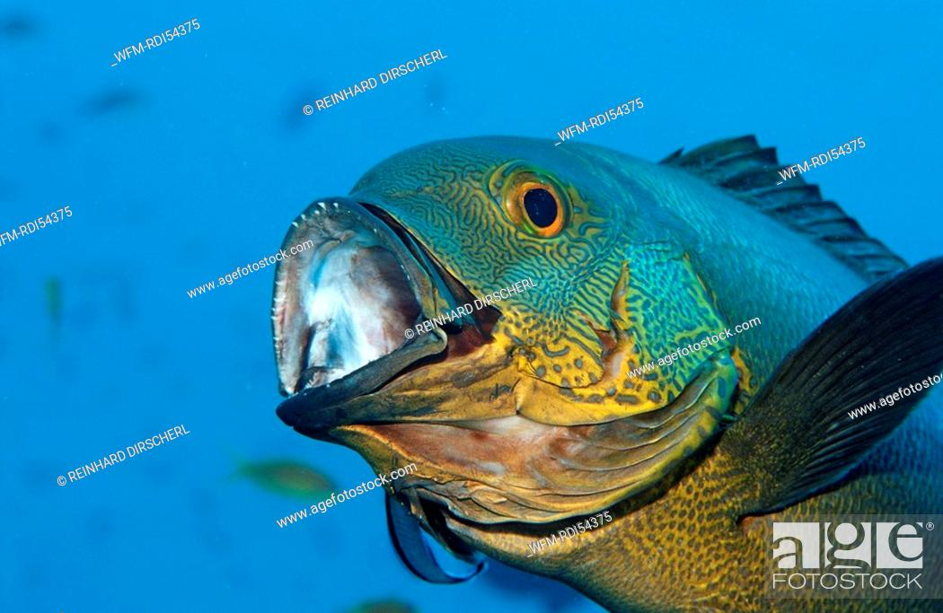 Stock Photo: Cleaner wrasse cleaning Black and white snapper, Labroides dimidiatus Macolor macularis, Indian Ocean Ari Atol, Maldives Island.