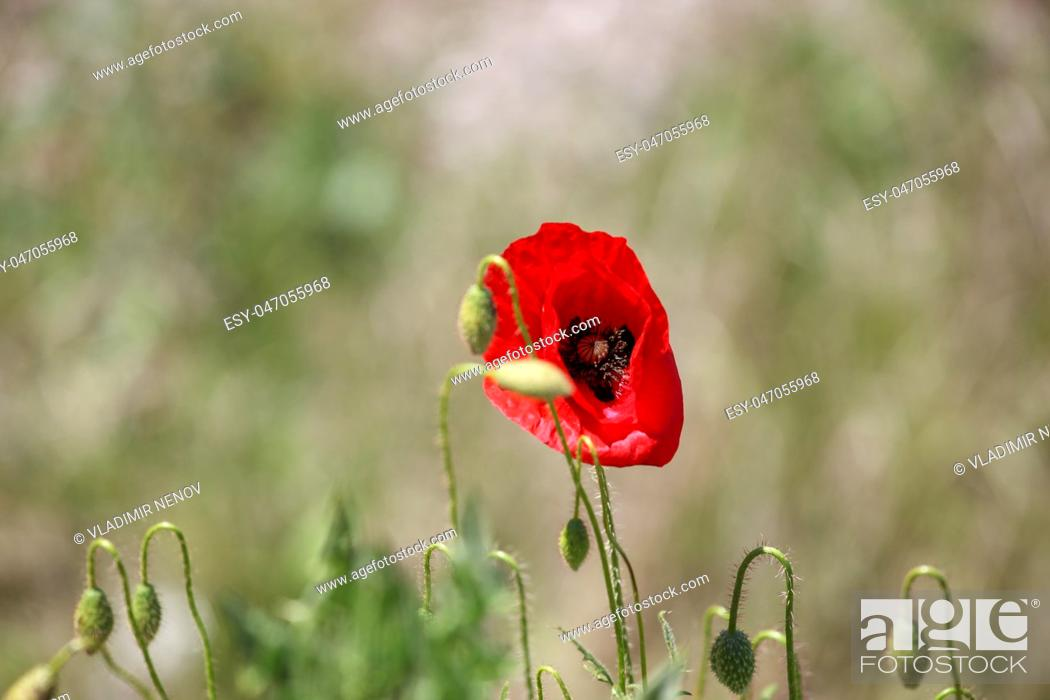 Stock Photo: A Poppy Is A Flowering Plant In The Subfamily Papaveroideae Of The Family Papaveraceae.