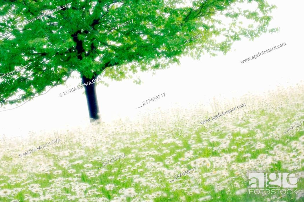 Stock Photo: Shasta Daisies and a Tree. Leucanthemum x superbum. May 2007, Maryland, USA.