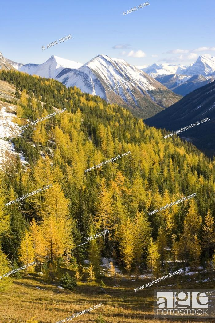 Stock Photo: Larches with mountain scenery in fall. Looking west from Kananaskis Trail Hwy 40. Kananaskis Country, Alberta, Canada.