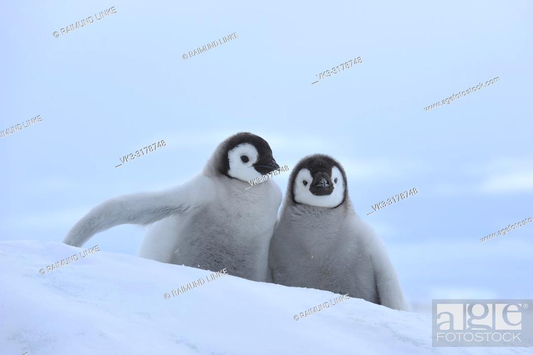 Imagen: Emperor penguins, Aptenodytes forsteri, Two Chicks, Snow Hill Island, Antartic Peninsula, Antarctica.