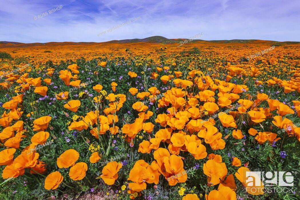 Imagen: California Poppies (Eschscholzia californica) and Goldfield (Lasthenia californica), Antelope Valley, California USA.